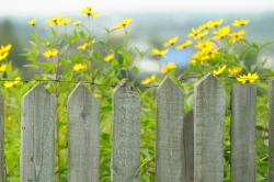 Young sunflowers behind wooden fence with barbed wire
