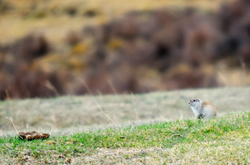 Ground squirrel and droppings