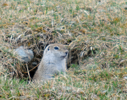 Ground squirrel looking out his hole